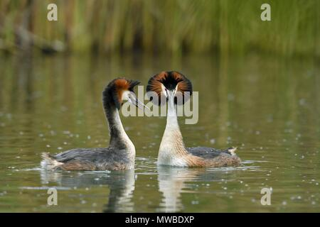 Great crested grebes (Podiceps cristatus), animal couple in the water, courtshipping, Lake Lucerne, Canton Lucerne, Switzerland - Stock Photo