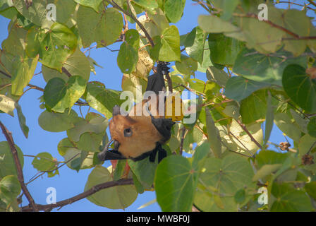 View of Maldives fruit bats - small flying fox, island flying fox or variable flying fox (Pteropus hypomelanus) - hanging from tree, Maldives, Indian  - Stock Photo