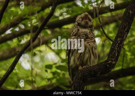 A barred owl (Strix varia) sitting in a dark forest at twilight as it waits for darkness to fall. - Stock Photo