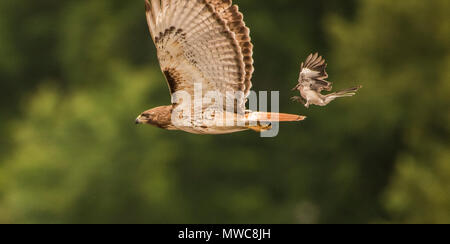 A very brave northern mockingbird chasing down and mobbing a much larger red tailed hawk mid air. - Stock Photo