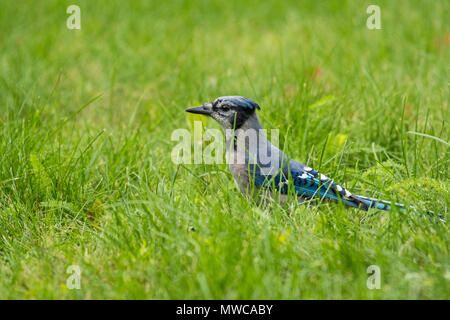 Blue jay (Cyanocitta cristata), Greater Sudbury, Ontario, Canada - Stock Photo
