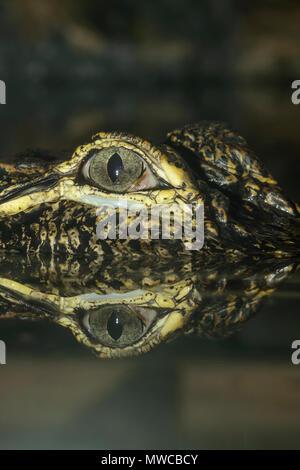 American alligator (Alligator mississipiensis), Captive, Reptilia reptile zoo, Vaughan, Ontario, Canada - Stock Photo