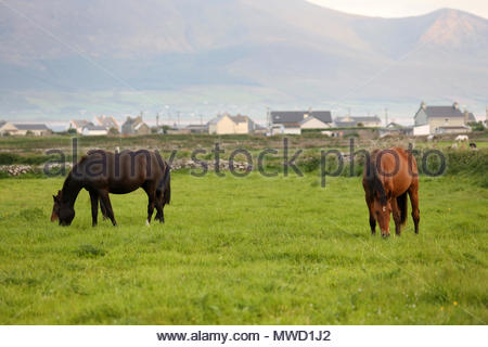 Horses graze in a field near Castlegregory in County Kerry as the sun goes down at the end of a glorious day. - Stock Photo