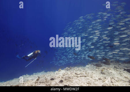 Fuvahmulah Island, Indian Ocean, Maldives. 11th Feb, 2018. Female scuba diver swims with school of bayads in blue water over coral reef. Bayad, Bigeye Trevally or Dusky Jack Credit: Andrey Nekrasov/ZUMA Wire/ZUMAPRESS.com/Alamy Live News - Stock Photo