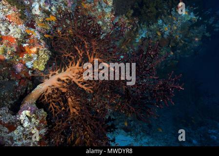 Indian Ocean, Maldives. 5th Apr, 2018. Cherry blossom coral or Godeffroy's Soft Coral Credit: Andrey Nekrasov/ZUMA Wire/ZUMAPRESS.com/Alamy Live News - Stock Photo