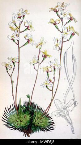 . Botanical print of Stylidium ciliatum (printed as S. saxifragoides, which was later reduced to synonymy with S. ciliatum) from . 1850. Walter Hood Fitch (1817-1892) del. et lith. Description byJohn Smith (1798-1888) 579 Stylidium saxifragoides 4529 - Stock Photo