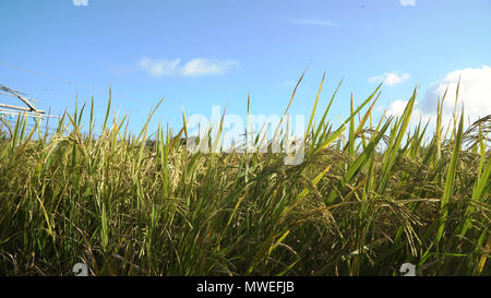Rice plant in paddy field. Rice field with yellowish green grass, blue sky, cloud, cloudy landscape. Terrace rice field. Philippines. - Stock Photo