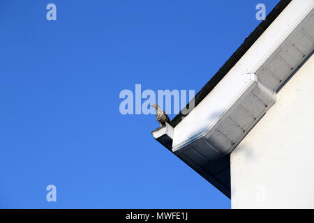 Mistle Thrush on a roof under a clear blue sky - Stock Photo