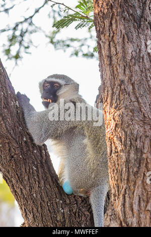 Old Vervet Monkey sitting in a tree showing his teeth - Stock Photo