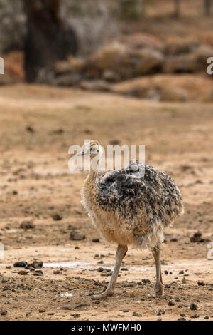 Ostrich in Oudtshoorn on the tourist garden route of south africa - Stock Photo
