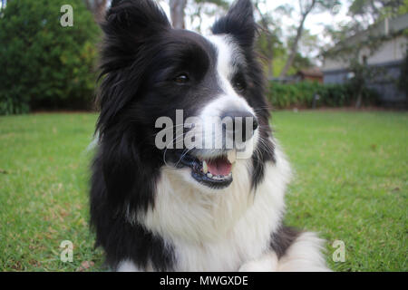 A purebred black and white Border Collie smiling - Stock Photo