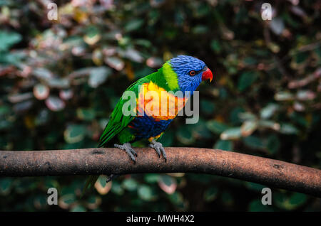 Colorful parrot Lori or Loriinae with blue head sits on branch of tree in forest close up - Stock Photo