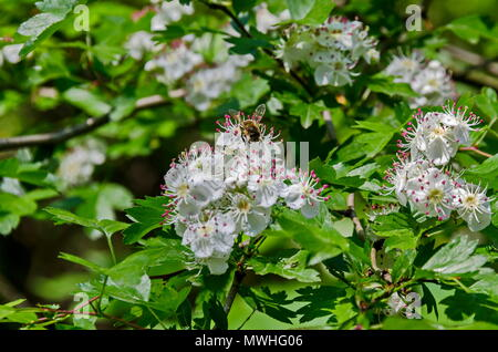 Hawthorn, Whitethorn  or Crataegus monogyna branch with flowers  of white petals and pink stamen with bee, selective focus,  South park, Sofia, Bulgar - Stock Photo