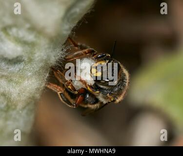 wool carder bee, Anthidium manicatum subspecies nigrithorax, female collecting hairs for nest-building from Stachys byzantina 'Big Ears' - Stock Photo