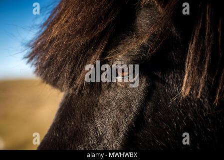 a pretty icelandic horse - Stock Photo