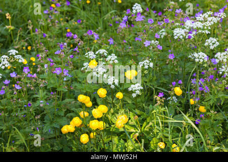Blomming globe flowers and wood cranesbill and many other flowers on a meadow - Stock Photo