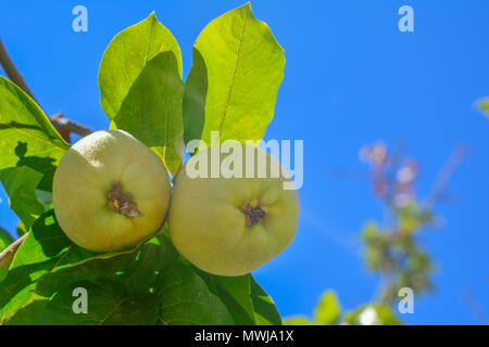 Quince fruit with leaves on a branch Sky background - Stock Photo