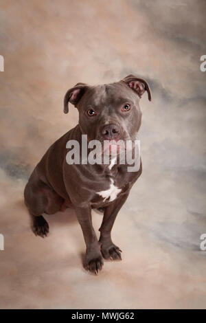 Blue Pit dog portrait - Stock Photo