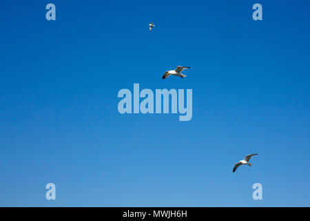 Three seagulls flying alongside Dover to Calais ferry leaving Dover, Kent, England, UK - Stock Photo