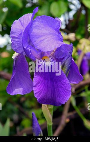 Close-up view on blue bearded iris (Iris germanica) with purple tint, fuzzy background, warm sunlight - Stock Photo