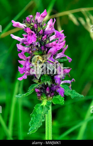 Close-up view of a nectar collecting bee on a purple dead-nettle - Stock Photo