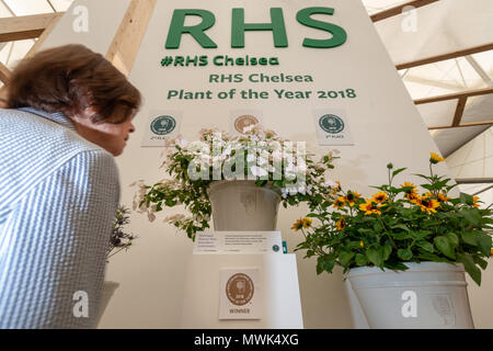 A visitor looks at the RHS Chelsea Plant Of The Year 2018, a Hydrangea Runaway Bride Snow Drop, (centre of photograph) at the Chelsea Flower Show in L - Stock Photo