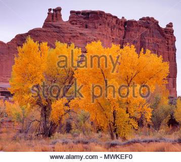 Autumn Cottonwood in Courthouse Wash, Arches National Park, Utah - Stock Photo