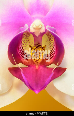 Dendrobium Orchid - Stock Photo