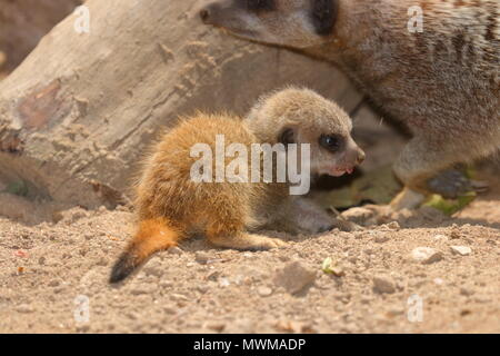 Baby Meerkat at Newquay Zoo - Stock Photo