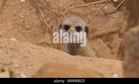 Baby Meerkat at Newquay Zoo - Stock Photo
