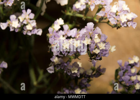 Sea Lavender (Limonium sinuatum) - Stock Photo