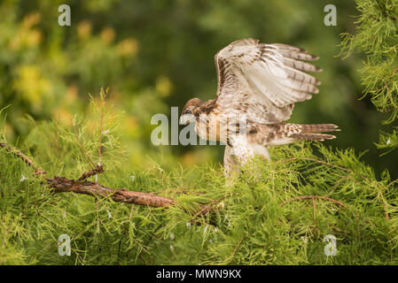 A fledgling red-tailed hawk (Buteo jamaicensis) in a tree. It has not yet flown but it soon fledged and left the tree and the nest in it behind. - Stock Photo