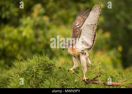 Juvenile red tailed hawk (Buteo jamaicensis walking around on a branch and flapping its wings in the hours before its first flight. - Stock Photo