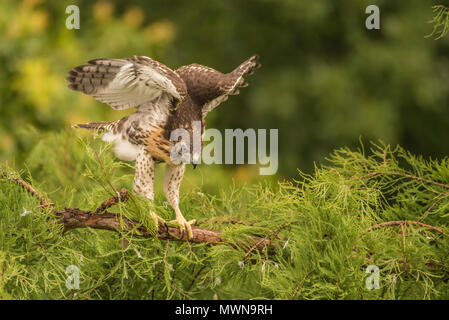 A juvenile red tailed hawk (Buteo jamaicensis) flapping its wings and clambering around on branches in the days before its first flight. - Stock Photo