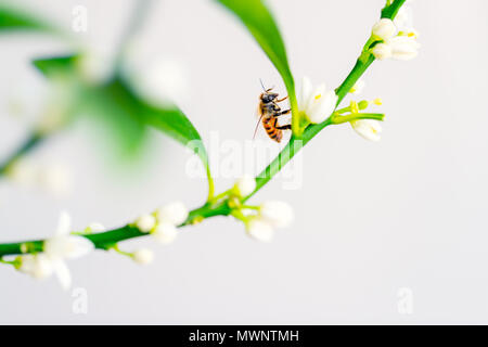 Beautiful yellow honey bee sitting on the white gentle flowers and pollinating it, cute little insect hard working in summer time - Stock Photo