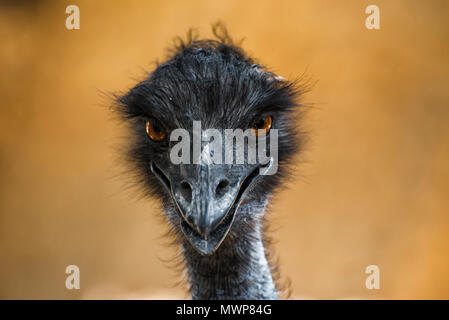 head of the ostrich is looking forward - Stock Photo