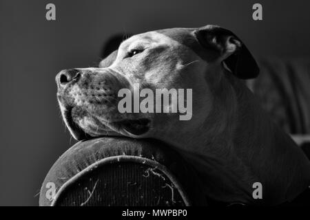 A dog (a mixed breed pit bull terrier) (Canis lupus familiaris) rests his head on the arm of a sofa, head in profile, looking noble - Stock Photo