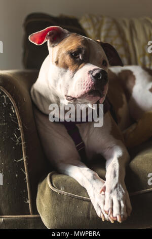 A dog (a mixed breed of pit bull terrier) (Canis lupus familiaris) sits on a couch with his head cocked, looking alert - Stock Photo