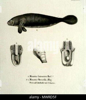 . Manatus latirostris Harl, Manatus fluviatilis Jllg. Fossilworks PaleoDB link: Manatus latirostris equals Trichechus manatus latirostris Note: Manatus fluviatilis ILLIGER, Abhandl. d. Kön. Akad. d. Wissens. in Berlin, 1809-1811, p. 110. This name, given without diagnosis, appears with M. americanus in a list of South American mammals and is a en:nomen nudum.[1] . Etching, time of origin: ca. 1835. Johann Andreas Fleischmann (1811-1878) 562 Sirenia latirostris and Sirenia fluvatilis - Stock Photo