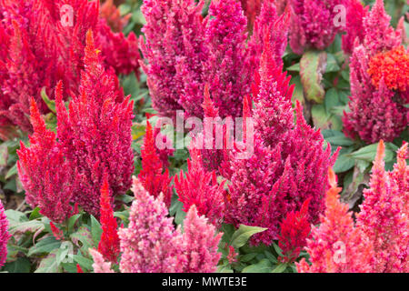 Colorful fresh celosia flower in the garden. - Stock Photo