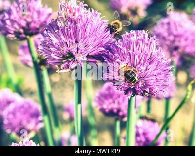 Chive onion flower with bees. Pink flower bloom with a blurred garden background. Chives (Allium schoenoprasum) flowers in the garden mid summer - Stock Photo