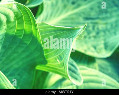 Hostas are herbaceous perennial plants growing from rhizomes or stolons with broad lanceolate or ovate leaves. Large lush green leaves with streaks. - Stock Photo