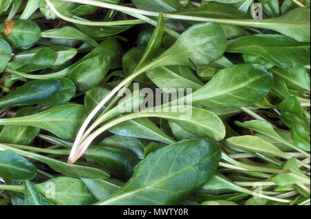 ENGLISH SPINACH (BABY LEAVES) (SPINACIA OLERACEA) - Stock Photo