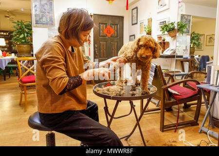 Mature Taiwanese woman hairdresser of Chinese descent grooming her pet chocolate poodle in her home and hair studio - Stock Photo