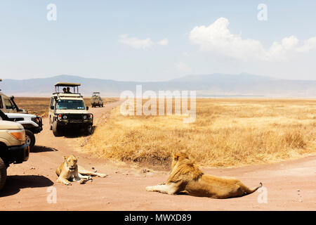 Tourists on a game drive and a lion (Panthera leo), Ngorongoro Crater, UNESCO World Heritage Site, Tanzania, East Africa, Africa - Stock Photo