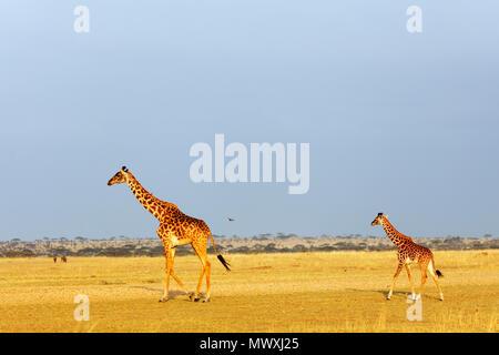 Giraffe (Giraffa camelopardalis), Serengeti National Park, UNESCO World Heritage Site, Tanzania, East Africa, Africa - Stock Photo