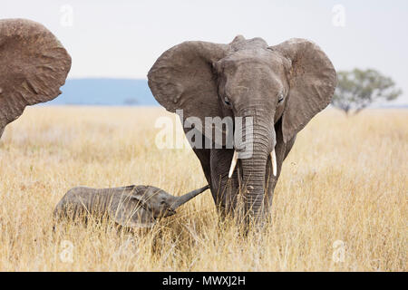 Baby African elephant and mother (Loxodonta africana), Serengeti National Park, UNESCO World Heritage Site, Tanzania, East Africa, Africa - Stock Photo