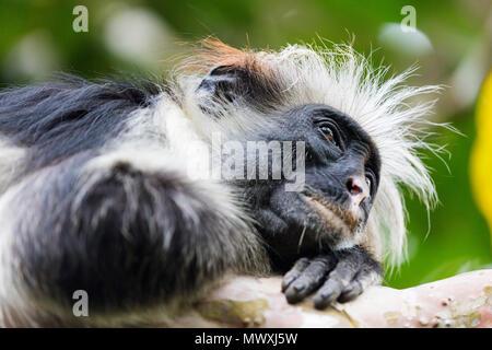 Endemic Red Colobus monkey (Piliocolobus), Jozani Forest, Jozani Chwaka Bay National Park, Island of Zanzibar, Tanzania, East Africa, Africa - Stock Photo