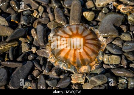 Moon Jellyfish (Aurelia aurita), Resurrection Bay, Kenai Fjords National Park, Alaska, United States of America, North America
