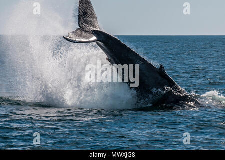 Humpback whale (Megaptera novaeangliae) tail slapping, Resurrection Bay, Kenai Fjords National Park, Alaska, United States of America, North America - Stock Photo